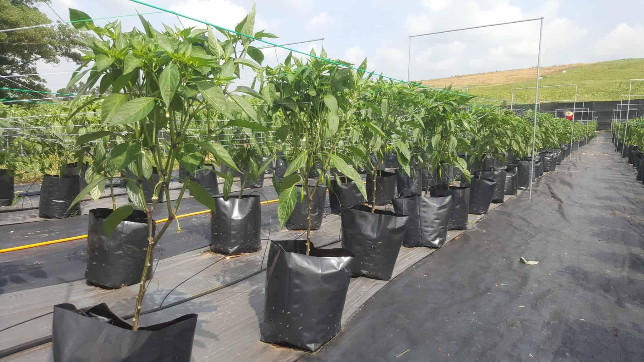 Jaring Timun Pokok Cilibangi